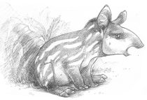 tapirsm.jpg by Claire Hummel (Shoom'lah)