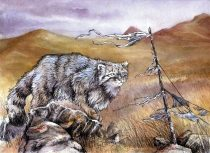 pallascat.jpg by Tess Garman (Kenket)